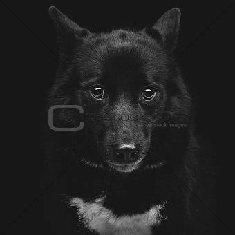 Black eskimo dog