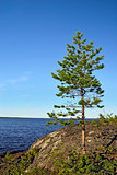 Karelian landscape: lone pine tree on a rock. Russia