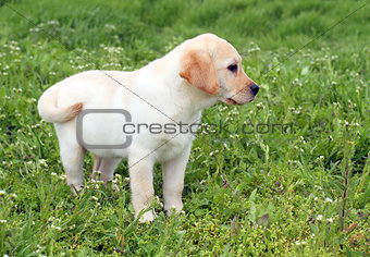 a nice yellow labrador puppy in green grass