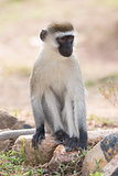 Vervet monkey sitting on rocks in sunshine