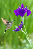 Hummingbird with iris flower over green background