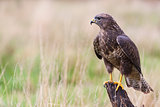 Buzzard sitting on a Tree Stump