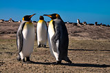 King Penguin!