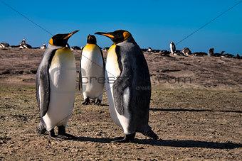 King Penguin!