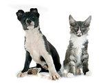 puppy border collie and kitten