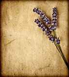 Lavender flowers isolated on brown textured background