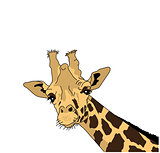 Vector illustration of the head of a giraffe