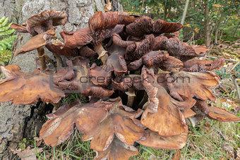 Armillaria honey mushrooms.