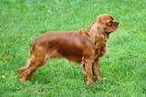 The portrait of Cavalier King Charles Spaniel on a green grass l