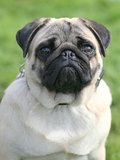 The portrait of Pug dog on a green grass lawn