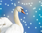 Beautiful elegant Swan against a falling snow and blue sky background