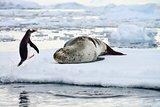 Gentoo Penguin & Leopard Seal