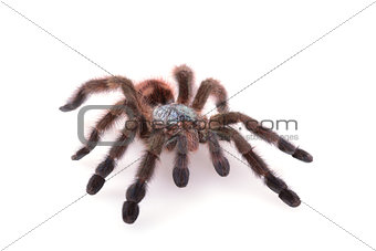 Avicularia Versicolor, Tarantula, Isolated