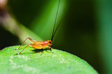 Conocephalus Melas tiny red young Cricket