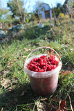 red ripe schisandra in the bucket