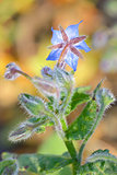 Starflower (Borago officinalis) blossom