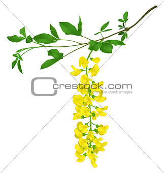 Green branch of yellow acacia isolated on white