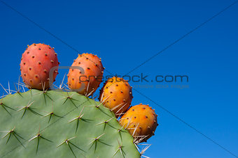 Cactus with fruits against a deep blue sky