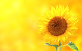 Bright sunflower on yellow background