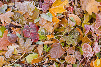autumn leaves and frost