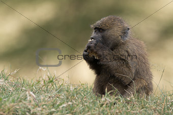 Baby baboon in grass eating with paws