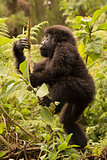 Baby gorilla climbs branch while looking up