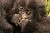 Baby gorilla close-up hiding mouth with hands
