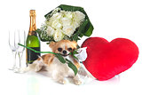 Saint Valentine's Day and chihuahua