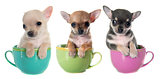 puppies chihuahua in bowl