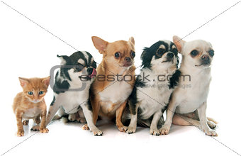 four chihuahuas and kitten