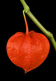 Physalis Alkekengi, Chinese lantern on Black Background
