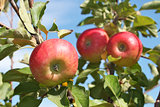 Red apples hanging on a branch