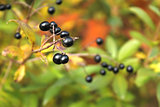 Berries of Common Privet in autumn