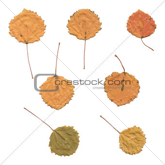 Autumn birch or Betula, aspen or Populus tremula leaves