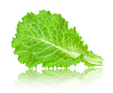 leaf lettuce with reflection isolated on white background