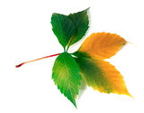 Multicolor virginia creeper leaf