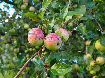 Three apples on tree