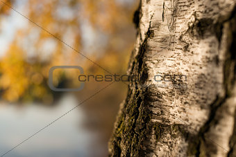 closeup birch trunk in autumn