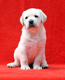 a labrador puppy on a red background