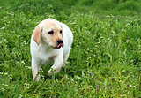 the nice yellow labrador puppy running in green grass