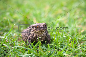 Toad in amongst green grass