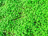 Green shamrock type carpet