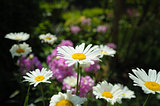 White daisies on dark green magenta background