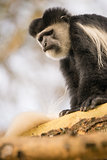Black and white colobus monkey looking down
