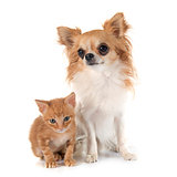 chihuahua and kitten