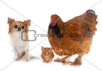 brahma chicken, chihuahua and kitten