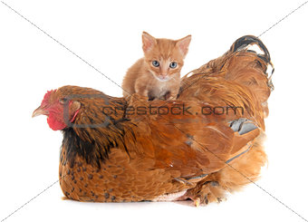 brahma chicken and kitten