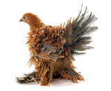 Curly Feathered chicken Pekin