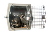 young raccoon in cage
