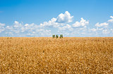 Yellow wheat field horizon with clouds and isolated plants